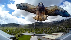 Hawk Attacks RC Plane And Then THIS Happens…