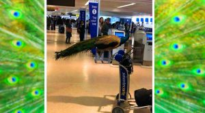 United Airlines Denies Entry To Emotional Support Peacock