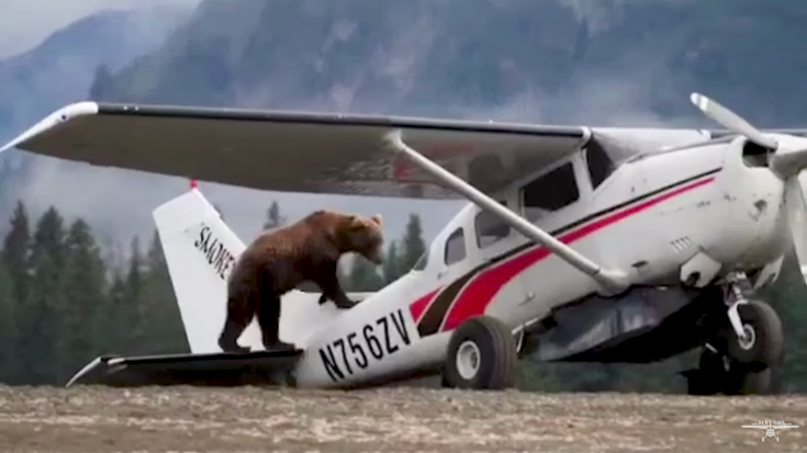 Here's Your Only Chance To See A Bear Doing A Preflight Check | World War Wings Videos